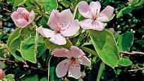 květy kdouloně