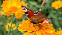 Květy měsíčku nabízejí motýlům hostinu (babočka paví oko)