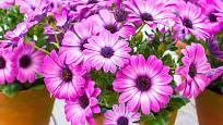 Každý pěstitel si pro sebe může najít tu nejvhodnější barevnou variantu.