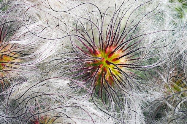 Plody plaménku jsou mnohdy stejně půvabné, jako jeho květy