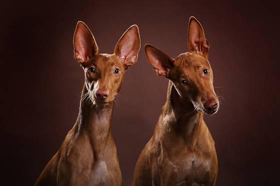 Faraonský pes, někdy též Faraonský chrt