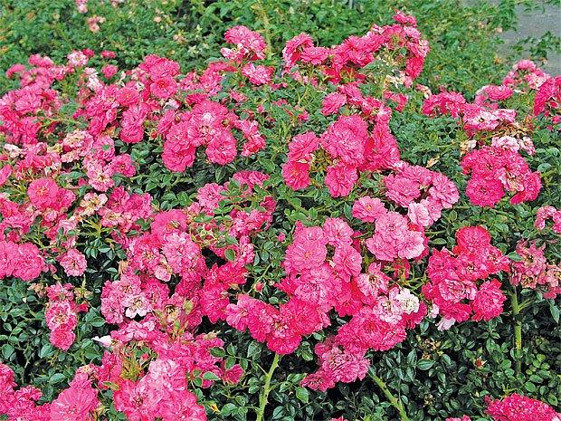 Půdopokryvná růže ´Knirps´ (Knirps, 1997, SRN)