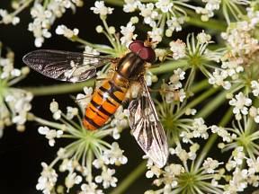 Pestřenky jsou zástupci dvoukřídlého hmyzu.