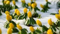 Zahrada rozkvétá již v únoru - otužilý talovín kvete velmi časně