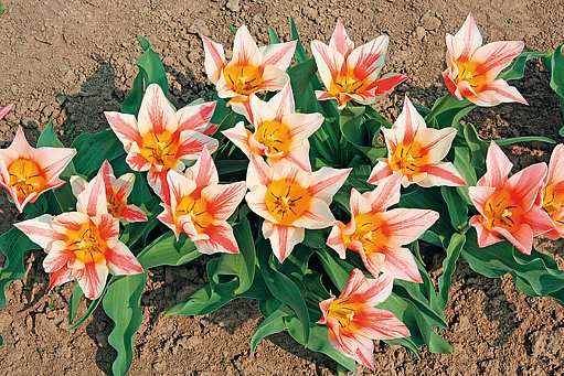 tulipány Quebec
