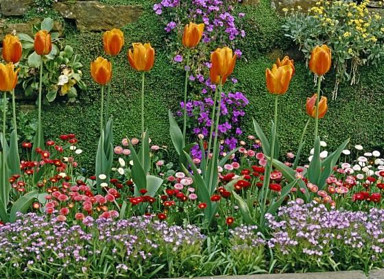 V podrostu dvouletek tulipány vyniknou a později se v nich jejich vadnoucí listy ztratí
