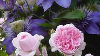 Růže odrůdy Cinderella