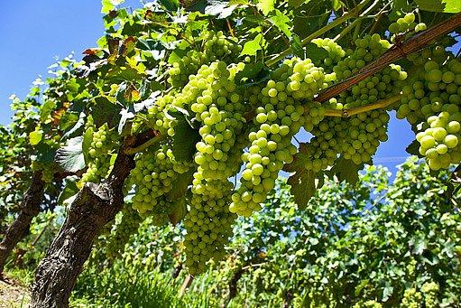 ochráněný vinohrad proti chorobám se vám bohatě odvděčí