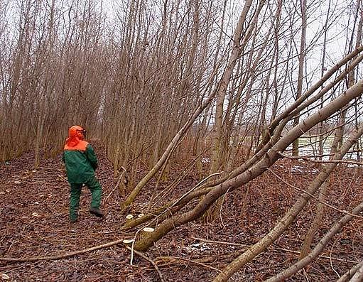 Rychle rostoucí dřeviny