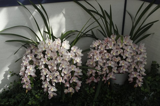 Hybridy rodu Cymbidium kvetou velmi bohatě