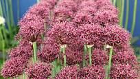česnek purpurový (Allium atropurpureum)