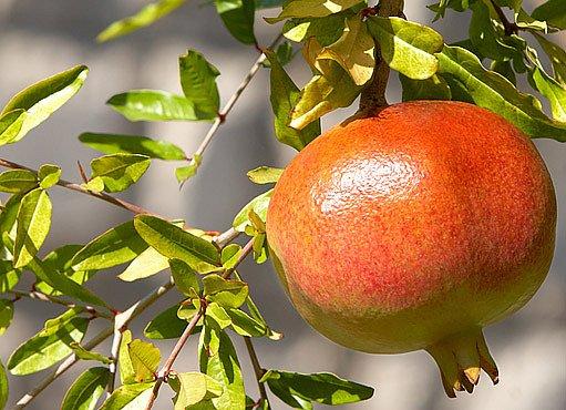 granátovník (Punica granatum)