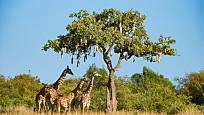 Žirafy pod salámovníkem nacházejí nejen stín, ale také potravu.