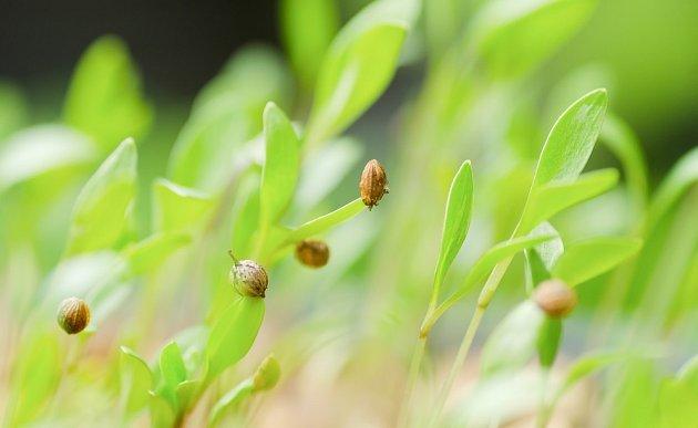Mladé rostlinky koriandru se zbavují slupek semen, ze kterých vyklíčily