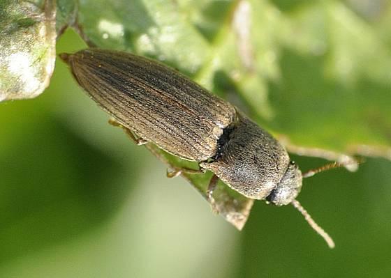 kovařík obilní (Agriotes lineatus)