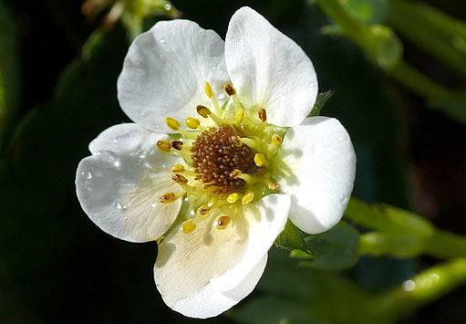 květ jahodníku