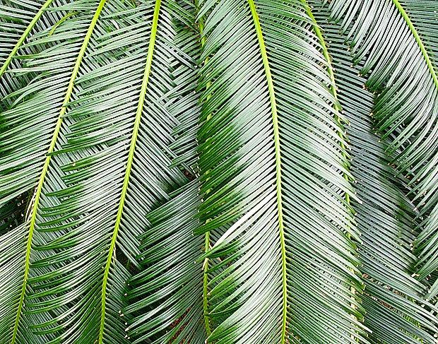 Listy ságové palmy jsou velmi pohledné