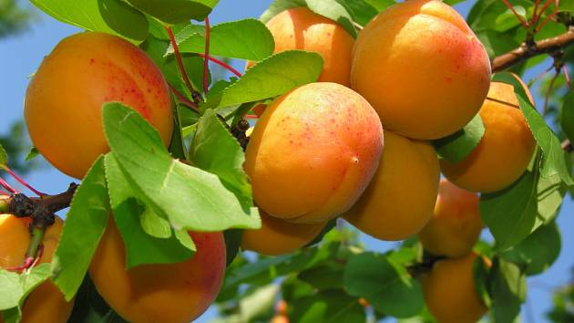 Zralé meruňky.
