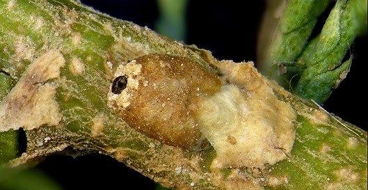 pačervec manový, Trabutina mannipara