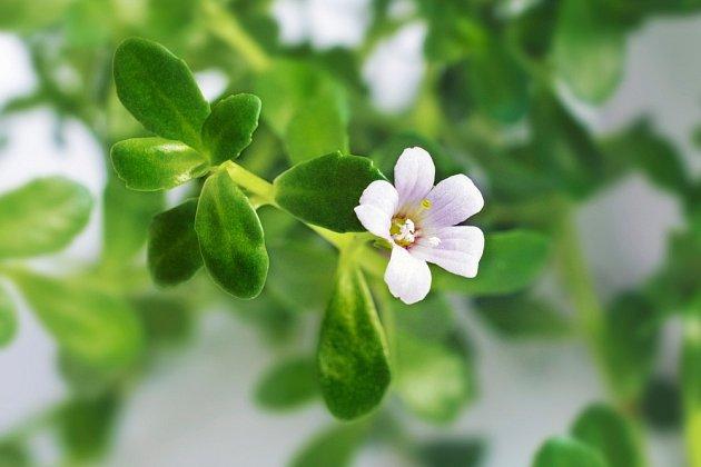 Brahmí je uznávaná léčivá rostlina.