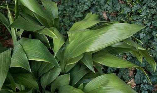 Kořenokvětka (Aspidistra elatior)