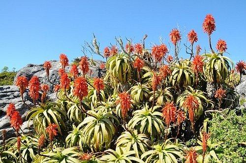 Národní botanická zahrada Kirstenbosch, Kapské Město, Jižní Afrika