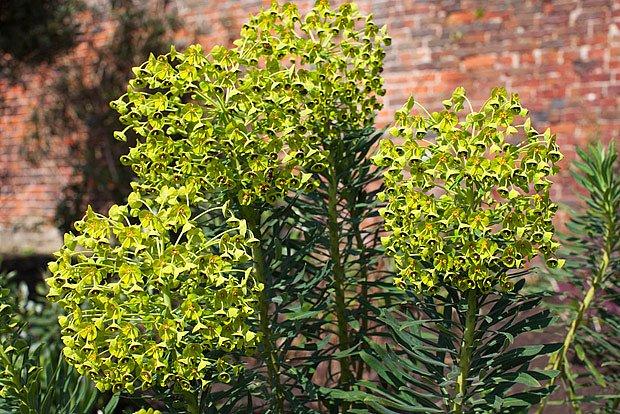 pryšec hnědokvětý (Euphorbia characias)