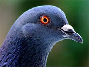 Chov holubů - rys