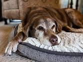 Jak uspat starého psa