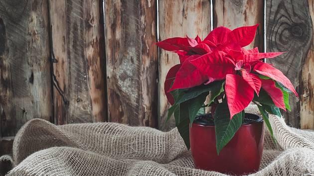 Při správné péči může vánoční hvězda zdobit váš byt po celý rok