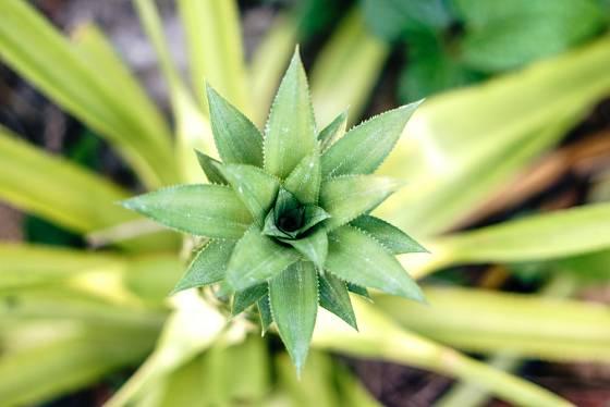 Pohled na rašící listovou růžici ananasu.