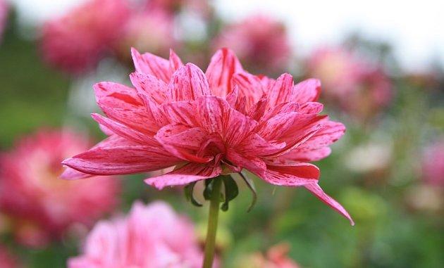 Krásné květy jiřin zkrášlí podzimní zahradu - hojnost kvetení podpoří červnové zaštípnutí výhonů