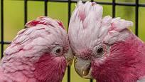 Kakadu růžový, stejně jako ostatní papoušci, žije v párech a nešetří důvěrnostmi. O samotě by strádal