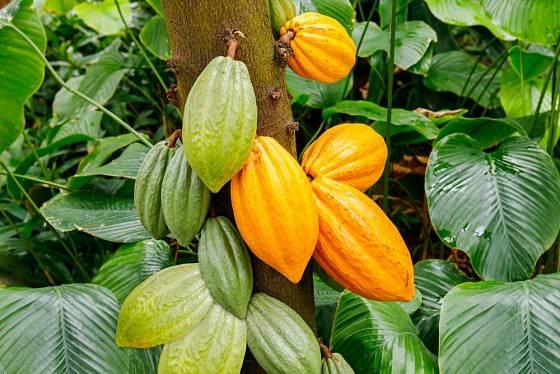Plody kakaovníku vyrůstají přímo ze kmene