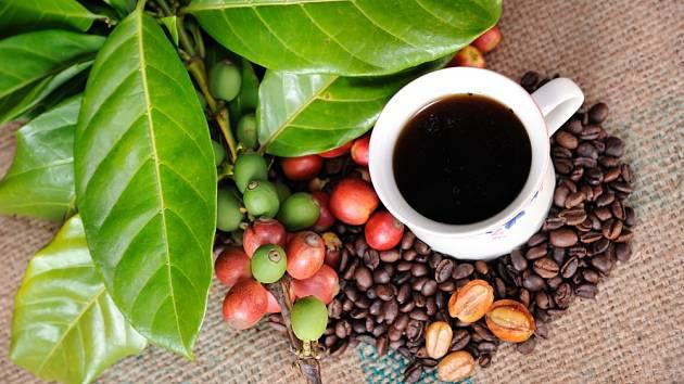 Kávovník můžeme pěstovat jako pokojovou rostlinu.