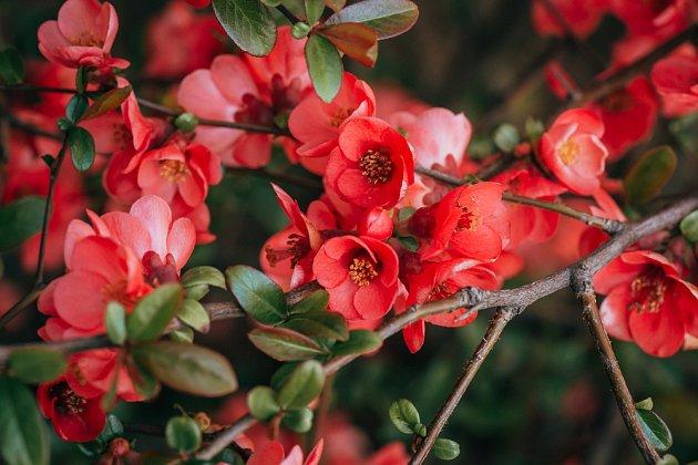 Kdoulovec japonský (Chaenomeles japonica)
