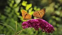 Kvetoucí komule přilákala nádherné motýly - perleťovce.