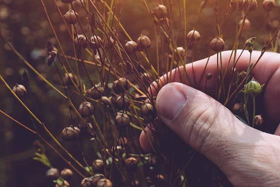 Lněné semínko musí v tobolkách nejprve dobře uzrát.