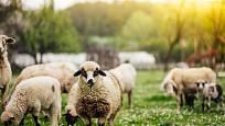 Na pastvě se mohou zvířata chovat přirozeně a být spokojená