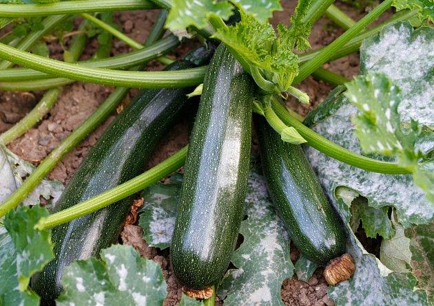 Cukety jsou dnes velmi populární zeleninou .
