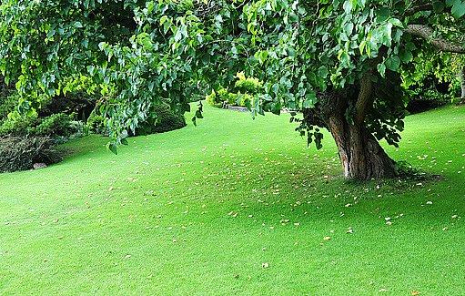 anglický trávník pod stromem