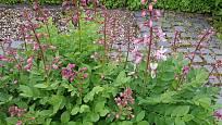 Třemdava je velmi pohledná zahradní trvalka