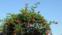 Trubač kořenující nabízí v letních měsících množství květů.
