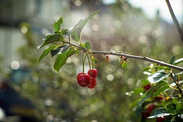 větve s jablkem