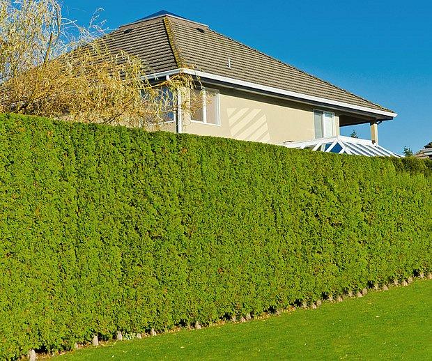 Vysoký a hustý živý plot ochrání zahradu před prachem