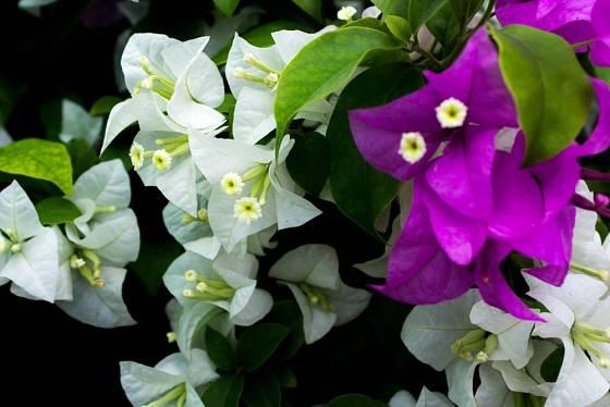 Bugénvilea nádherná (Bougainvillea spectabilis) - bíle a fialově kvetoucí.