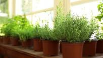 Při pěstování bylinek v interiéru je zásadní dostatek světla