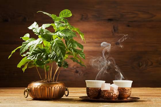 Kávu mnoho z nás miluje - vděk patří kávovníku