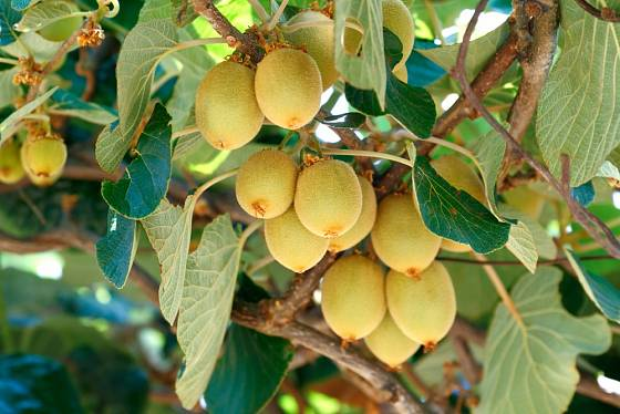 V kultuře je několik kultivarů kiwi, kterým se v našich podmínkách daří velmi dobře.