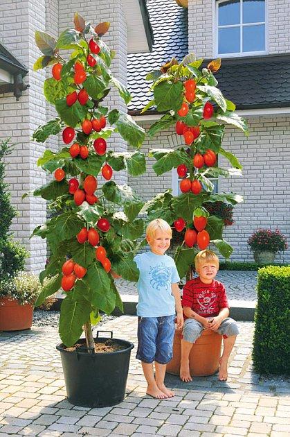 obří rajčata